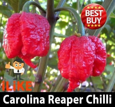 Hot Pepper Chilli Seeds Carolina Reaper X 20 Seeds. Hottest in the world !