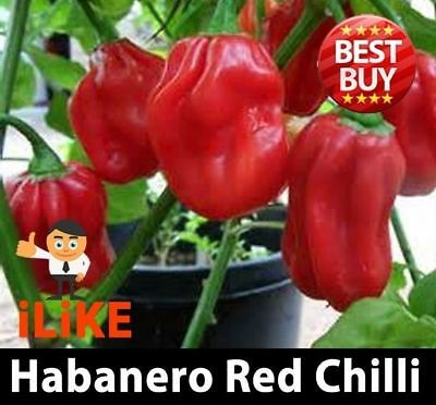 Habanero Chilli Pepper Seeds Red x 10 Very Vegetable Garden Plant