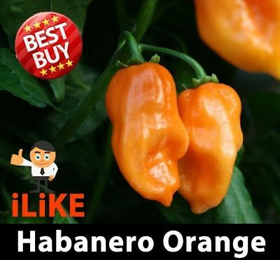 Habanero Chilli Pepper Seeds Orange x 10 Vegetable Garden Plant
