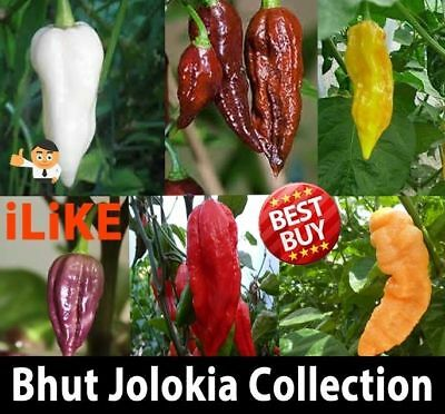 Ultimate Bhut Jolokia/Ghost Chilli Seeds Collection 60