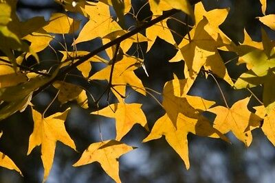 Acer mono (Painted Maple) - Handsome, small Maple, ideal for Bonsai - 10 seeds
