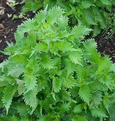 Organic Herb-Epazote also  known as Jesuit's tea, Mexican tea-25+Vegetable Seed