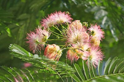 Albizzia julibrissin (Silk Tree) - Large/Trade Packet - 100 seeds