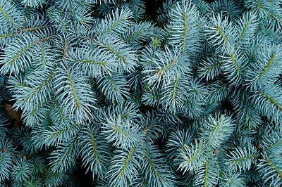 Picea pungens glauca (Blue Colorado Spruce) - 25 seeds