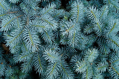 Picea pungens glauca (Blue Colorado Spruce) - Large Packet - 100 seeds