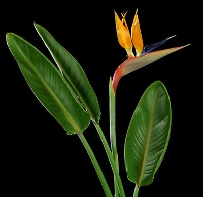 Strelitzia reginae (Bird-of-Paradise) - 6 seeds. Lovely Easy to Grow Plant.