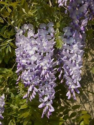 Wisteria sinensis blue (Chinese Wisteria) - 8 seeds. RHS Award Winning Climber