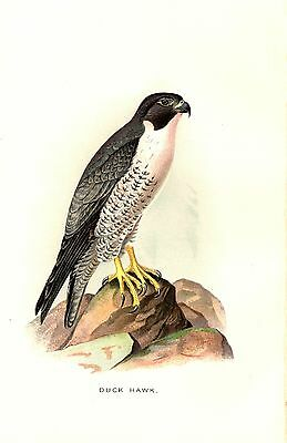 Rare 1897 Antique Bird Print Duck Hawk or Peregrine Falcon ~ Excellent Details!