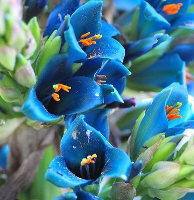 SAPPHIRE TOWER Puya alpestris 10 SEEDS exotic* unusual *eye catching* CombSH