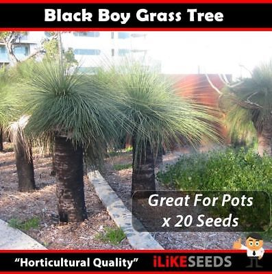 "Black Boy Grass Tree ""Xanthorrhoea Preissii"" 20 Seeds  iLikseeds"