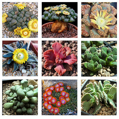 Aloinnopsis Species Mix 10 seeds * Succulent * easy grow * CombSH C72