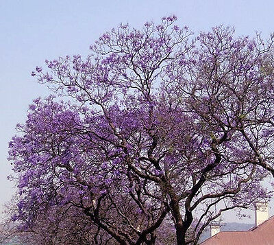 Royal Empress Tree 100 seeds Paulownia Tomentosa * Fastest Growing tree* CombSH