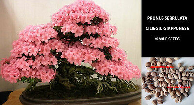 Ciliegio Giapponese Sakura Semi - Prunus Serrulata High Quality Bonsai + Guida