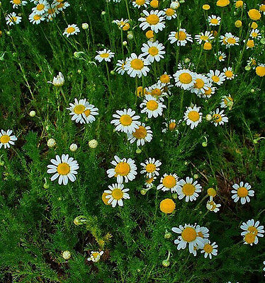Chamomile True German 3000 seeds 'Plant's Physician' Medicinal herb garden Tea