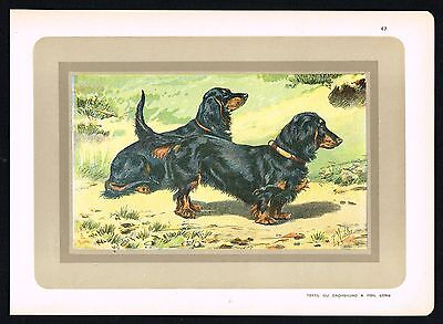 LONG-HAIRED DACHSHUND DOG BREED, HUNTING - 1931 Antique Lithograph Print