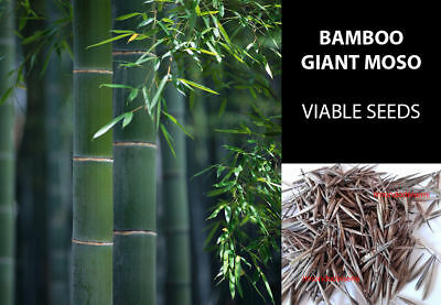 Moso Bamboo Gigante Semi - Giant Moso Bamboo - 10/20 True Fresh  Quality Seeds