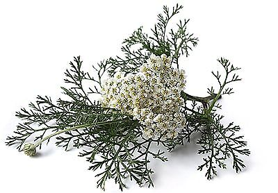 Yarrow 100% Essential Oil 1/2 once  Divination; Love; Happy Marriage