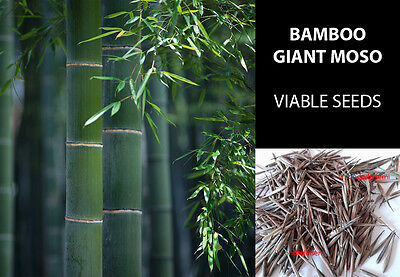 25/50/100 Semi Moso Bamboo Gigante - Giant Moso Bamboo True Quality Seeds