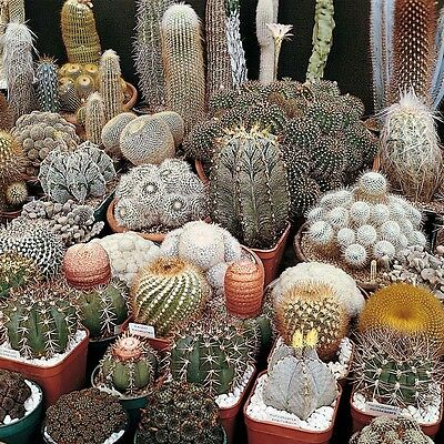 Cactus mix 50 seeds ( Approximate ) *Easy grow * Care free * C21