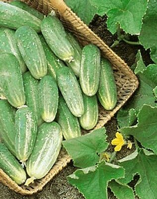 Organic OP NON-GMO Cucumber 25+ seeds- Home made Pickles high yielding
