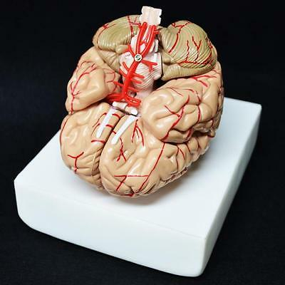 8-Part Human Brain With Arteries Anatomical Anatomy Model Xt