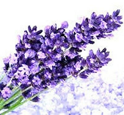 LAVANDA Lavandula Officinali.  220  Semi - Seeds.