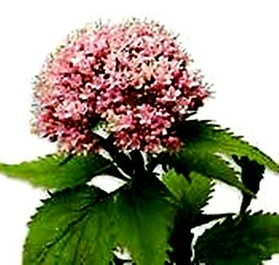 Valeriana Officinali.  350 Semi - Seeds