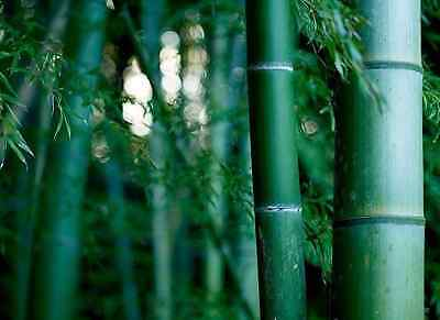 Bulk Giant Moso bamboo Phyllostachys Pubescens 5, 100, 250, 500, 1000 seeds A81