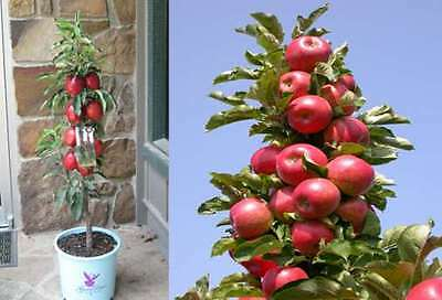 Columnar apple tree 'RED'- 100 cm tall seedling- potted