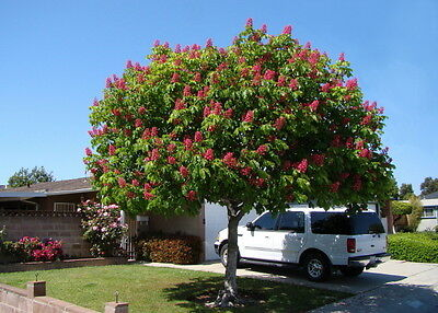 BRIOTTI Red flowering horse chestnut tree - 70 cm tall seedling- in the pot