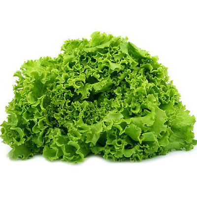 1000pcs SALAD BOWL LETTUCE (all non-gmo heirloom vegetable seeds!) Hot Sell