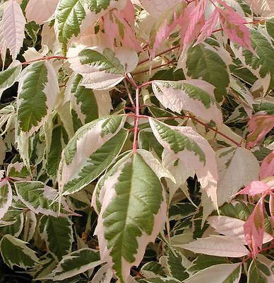 FLAMINGO Ash-leaved Maple tree - 180 cm tall seedling- in the pot