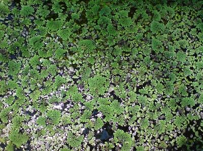 Azolla & Duckweed Mixed Pack - Great For Aquarium Pond