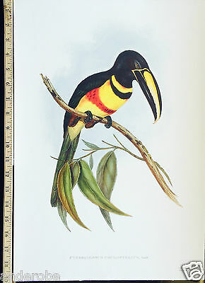 John Gould  DOUBLE-BANDED ARACARI Pteroglossus paecilosternus GORGEOUS PLATE!*