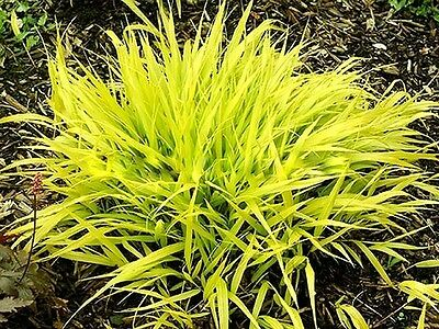 ALL GOLD Japanese Forest Grass (Hakne Grass)- seedling- in the pot