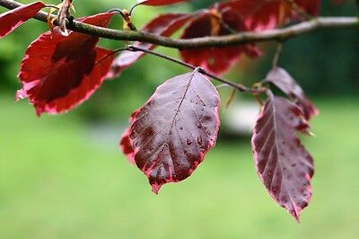 Purple 'TRICOLOR' beech Tree - 60 cm tall seedling- potted