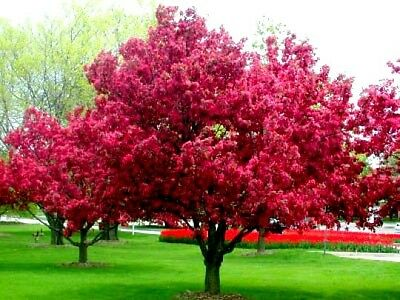 'ROYALTY' Flowering Crab Apple tree - 140 cm tall seedling-in the pot