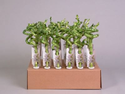 Lucky Bamboo Squiggle x 3.  30cm tall