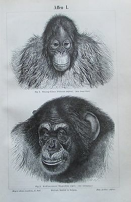 AFFEN I. - VI. 1893 original 6 Drucke antik Lithografie antique prints Tiere
