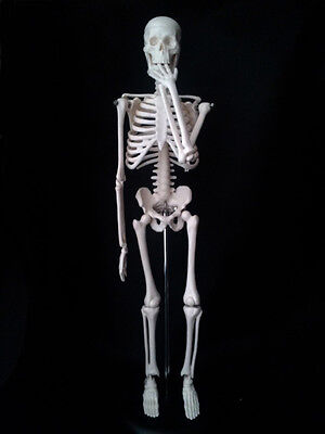 New 45CM Human Anatomical Anatomy Skeleton Model Fexible Medical Teaching 17.7in