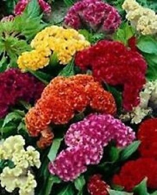 50+ Cockscomb Celosia Mix Flower Seeds / Annual