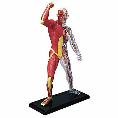Muscle Skeleton Model Human Anatomical New Anatomy Learning Medical Body School