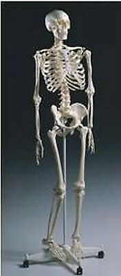 Standard Anatomical Human Skeleton Model With Stand