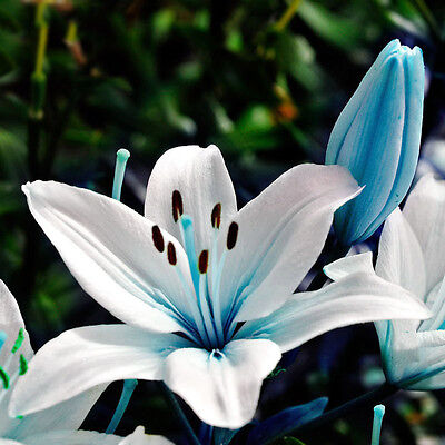 50pcs Blue Rare Lily Flower Seeds Planting Plants Lilium Perfume Garden Decor