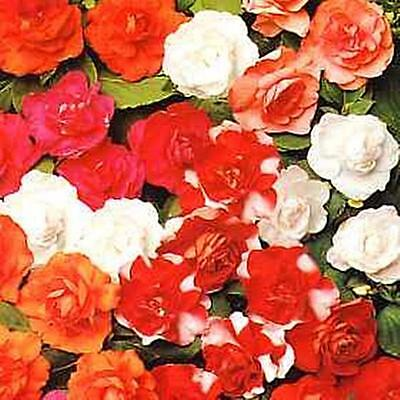Impatiens Double Carousel Series Mix Annual Seeds