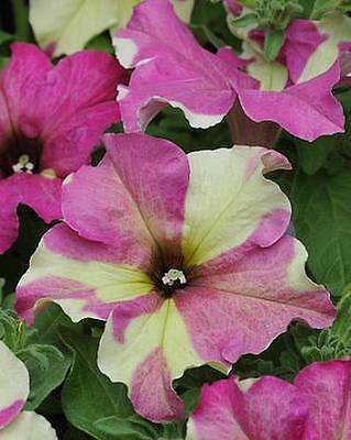Petunia Sophistica Lime Bicolor Pelleted Seeds