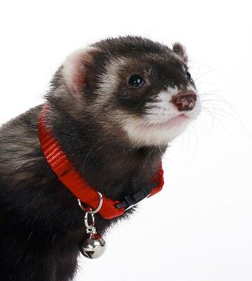 Marshall Bell Collar Ferret Free Shipping