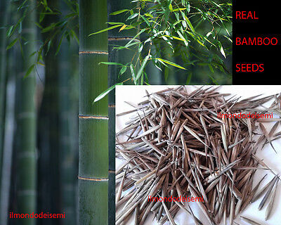1000 SEMI MOSO BAMBOO GIGANTE - GIANT MOSO phyllostachys pubescens TRUE SEEDS