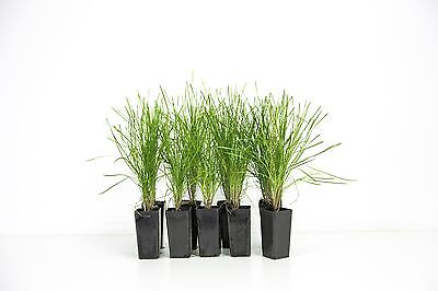 "Lomandra hystrix ""Little cricket"" - 10 Plants miniature Australian native grass"