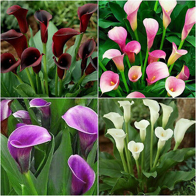 2pcs Mixed Colour Calla Lily Root Lilies Perennial Gardening Summer Flower Bulbs